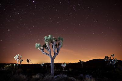 Joshua Tree National Park, California, United States: Star Trails over a Joshua Tree at Night