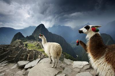 Llamas Overlook the Pre-Columbian Inca Ruins of Machu Picchu