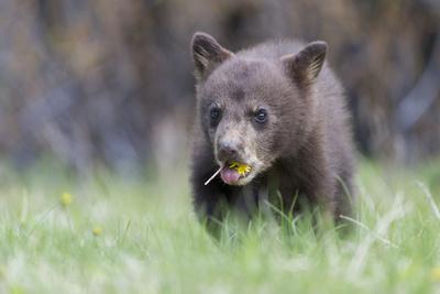A Black Bear Cub, Ursus Americanus, Chews on a Dandelion