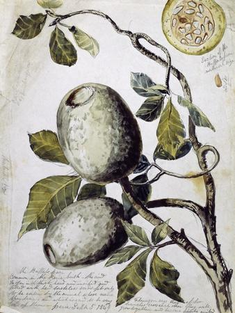 Branch of Buffalo Pear Tree, Showing Fruit and Leaves, 1849