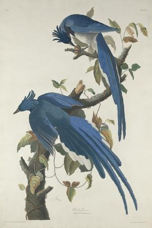 Columbia Jay, 1830