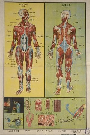 Human Skeletal System and Muscles