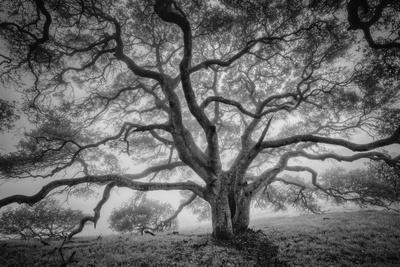 Majestic Old Oak, Black and White, Petaluma Northern California
