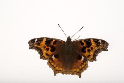 A Compton Tortoiseshell Butterfly, Nymphalis Vaualbum, from Cross Lake, Minnesota