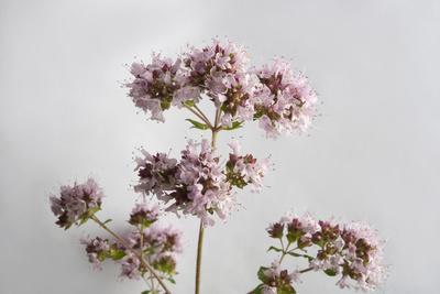 A Sweet Marjoram Plant, Origanum Majorana