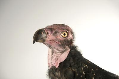 A Critically Endangered Pondicherry Vulture, Sarcogyps Calvus, at the Palm Beach Zoo