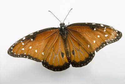 A Queen Butterfly, Danaus Gilippus, at the Minnesota Zoo