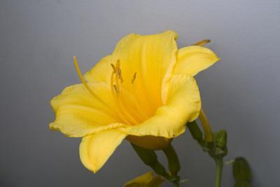 A Day Lily, Hemerocallislilo Lilo Asphodelus