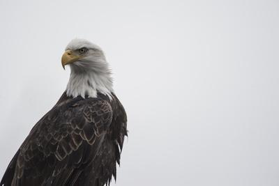 Portrait of a Bald Eagle, Haliaeetus Leucocephalus