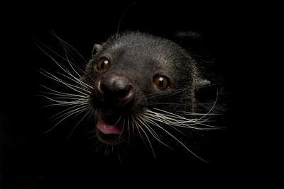 A Binturong, Arctictis Binturong, a Species Listed as Vulnerable
