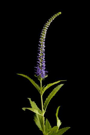 A Spiked Speedwell Plant, Veronica Spicata
