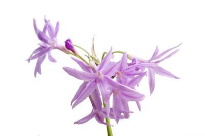 A Society Garlic Plant, Tulbaghia Violacea