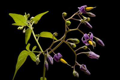 A Bittersweet Nightshade Plant, Solanum Dulcamara