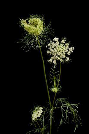A Wild Carrot Plant, Daucus Carota