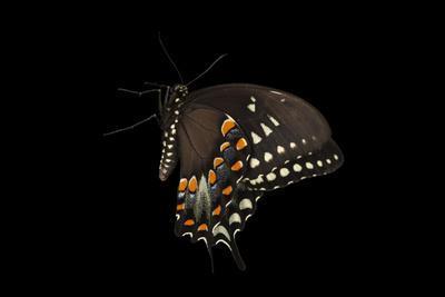A Spicebush Swallowtail, Papilio Troilus, at the Minnesota Zoo