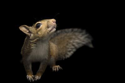 A Studio Portrait of an Eastern Gray Squirrel, Sciurus Carolinensis