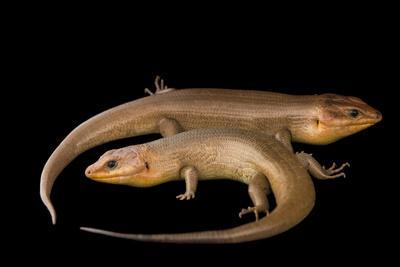Broad-Headed Skinks, Plestiodon Laticeps