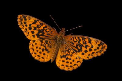 A Meadow Fritillary Butterfly, Boloria Bellona, from Cross Lake, Minnesota