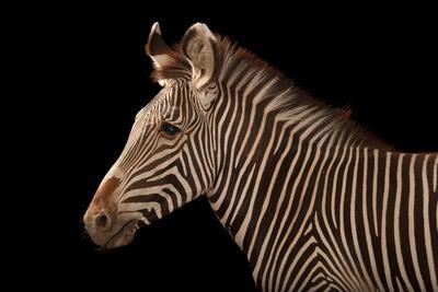 An Endangered Grevy's Zebra, Equus Grevyi