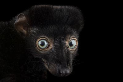 A Critically Endangered, Male Blue-Eyed Black Lemur, Eulemur Flavifrons, at the Duke Lemur Center