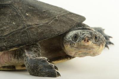 Common Toad-Headed Turtle, Mesoclemmys Nasuta