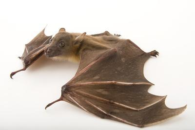 A Lesser Short-Nosed Fruit Bat, Cynopterus Brachyotis, at the Lubee Bat Conservancy
