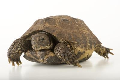 Spur-Thighed Tortoise, Testudo Graeca