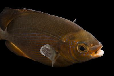 A Striped Surf Perch, Embiotoca Lateralis, at Omaha's Henry Doorly Zoo and Aquarium