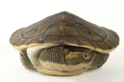 New Guinea Snapping Turtle, Elseya Novaeguineae