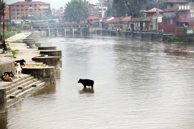 A Cow Stands in the Bagmati River Running Through Kathmandu