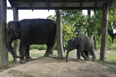 An Elephant Calf with Mother at the Elephant Breeding Center in Chitwan National Park