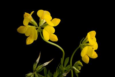 A Birdsfoot Trefoil Plant, Lotus Corniculatus