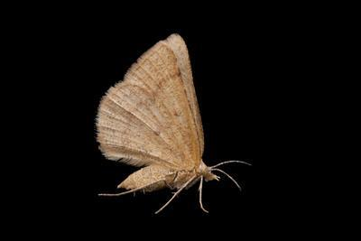 A Geometer Moth, Drepanulatrix, from Dieken Prairie Near Unadilla, Nebraska