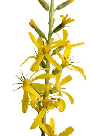 'The Rocket' Plant, Ligularia Stenocephala