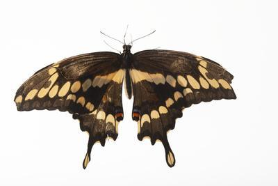 A Giant Swallowtail Butterfly, Papilio Cresphontes, at the Lincoln Children's Zoo