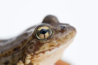 An Endangered Southern Mountain Yellow-Legged Frog, Rana Muscosa