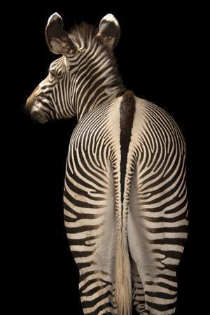 The Rear End of an Endangered Grevy's Zebra, Equus Grevyi