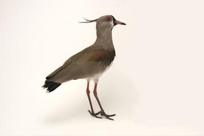 A Southern Lapwing, Vanellus Chilensis, at the Palm Beach Zoo