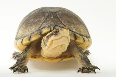 A Northern White-Lipped Mud Turtle