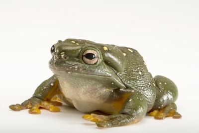 A Magnificent Tree Frog, Litoria Splendida, at the Wild Life Sydney Zoo