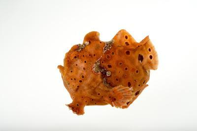 A Painted Frogfish, Antennarius Pictus, at Omaha's Henry Doorly Zoo and Aquarium