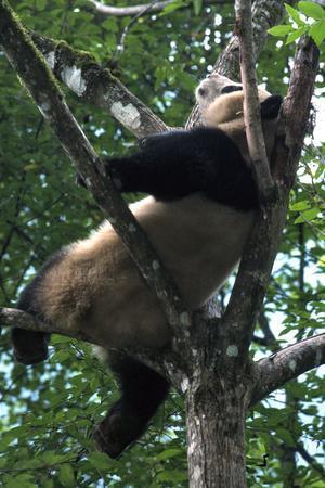 Giant Panda, Ailuropoda Melanoleuca
