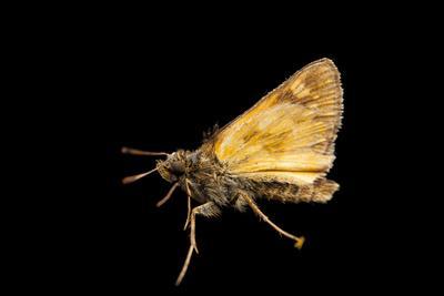 A Hobomok Skipper Butterfly, Poanes Hobomok, from a Prairie Near Cross Lake, Minnesota