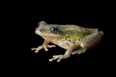 A Red Snouted Treefrog, Scinax Ruber