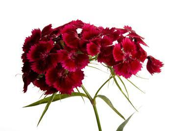 A Sweet William Plant, Dianthus Barbatus