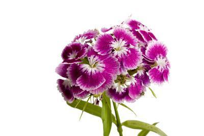 A Sweet William Flower, Dianthus Barbatus