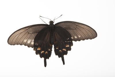 A Pipevine Swallowtail, Battus Philenor, a Native to Nebraska, at the Lincoln Children's Zoo