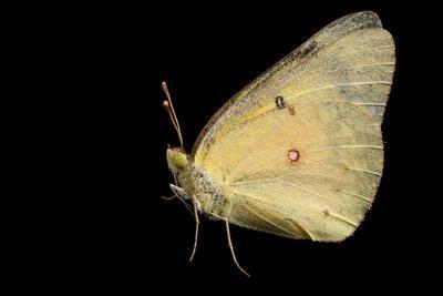 A Female Alfalfa Butterfly, Colias Eurytheme, from Dieken Prairie Near Unadilla, Nebraska