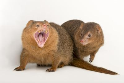 Common Dwarf Mongooses, Helogale Parvula, at the Omaha Henry Doorly Zoo