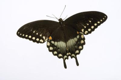A Spicebush Swallowtail, Papilio Troilus, at the Minnesota Zoo